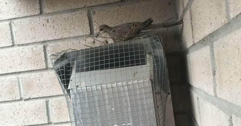 Наглая горлица четыре года подряд отбивает у людей место для гнезда. Эпичная история в фото