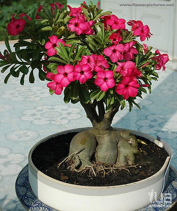 Комнатный цветок роза пустыни