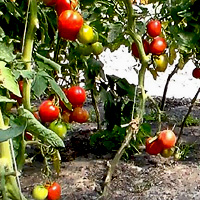 Выращивание томатов в теплице: как вырастить помидоры, как сажать и как ухаживать.
