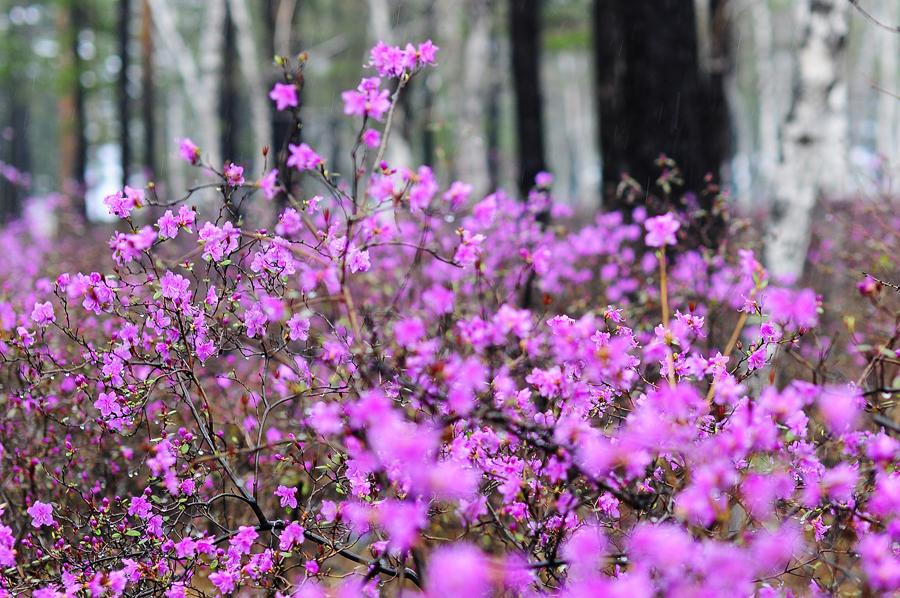 purple12 Цветение багульника   удивительное и чудесное зрелище