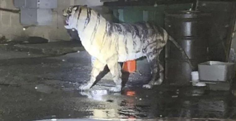 Тигр напугал полицейских Вирджинии