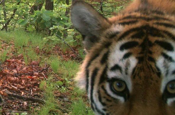 Приморские тигры научились обманывать фотоловушки