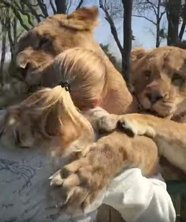 Женщина вырастила двух осиротевших львят, позже их пришлось отдать в зоопарк. Прошли годы и вот их встреча