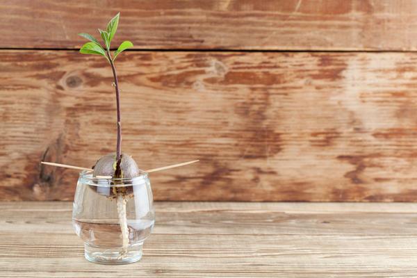 Косточку авокадо можно прорастить в воде