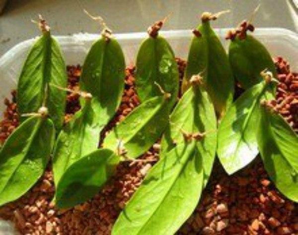 Долларовое дерево цветок размножение