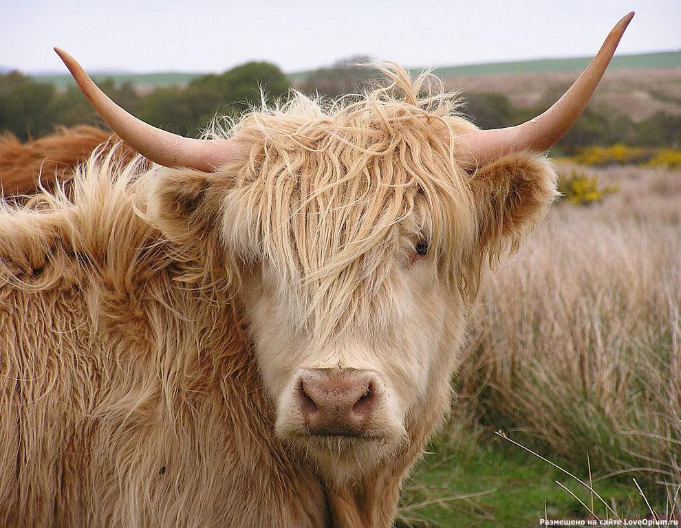 фото вислоухая корова