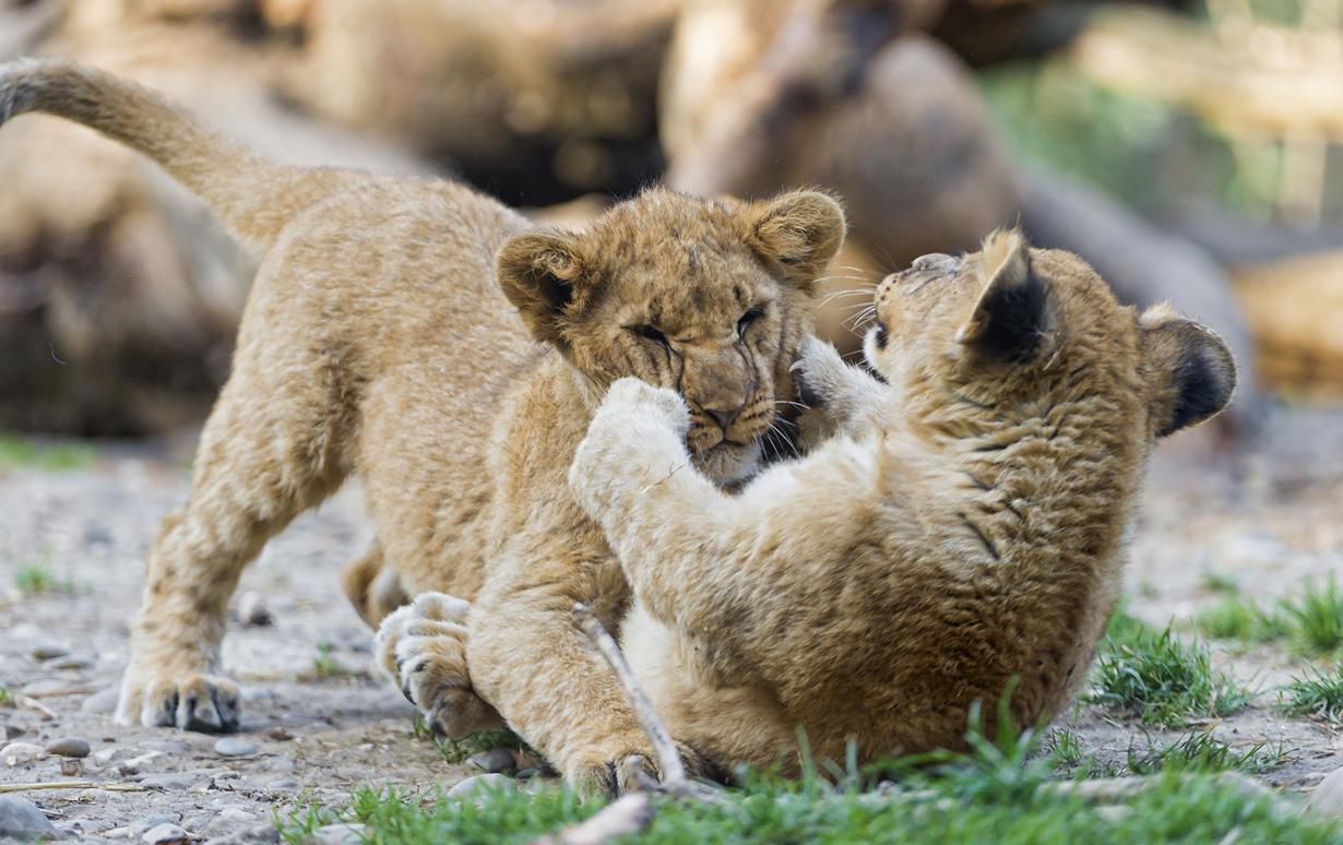 Детёныши льва. (Tambako The Jaguar)