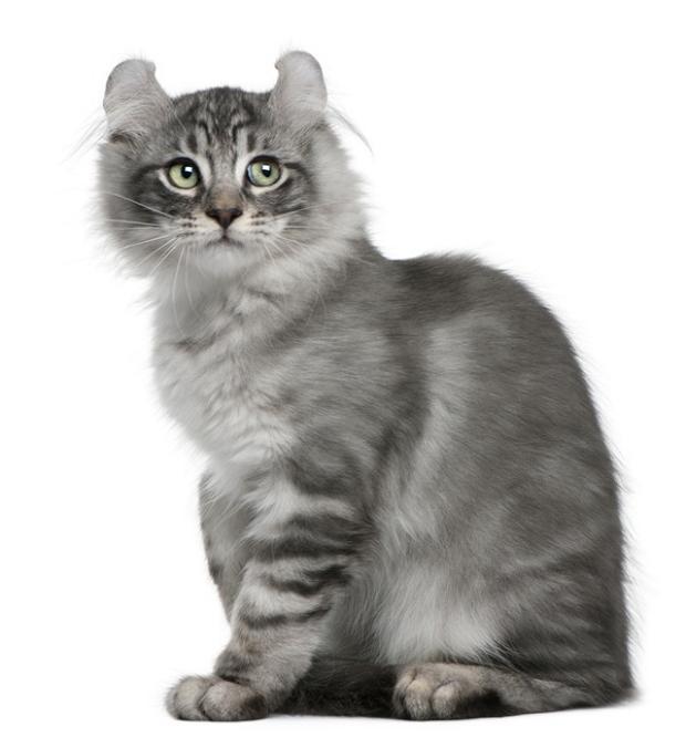 Топ-10: Редкие и необычные породы кошек