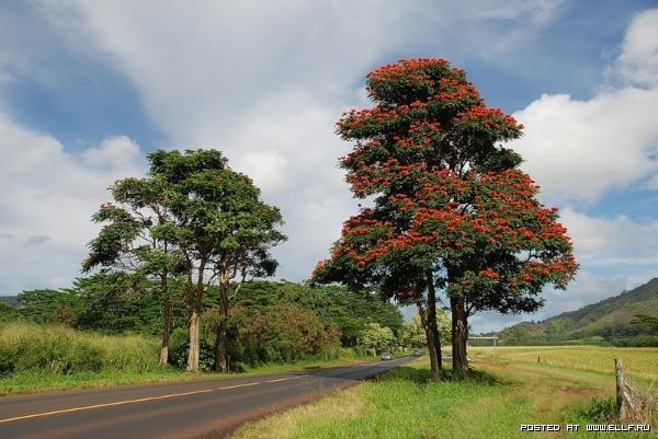 Африканское тюльпанное дерево (24 фото)