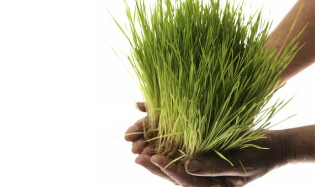 Как Прорастить Пшеницу Дома:…
