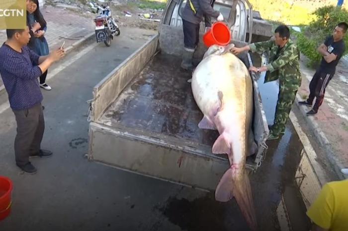 Китайский рыбак поймал под Хабаровском калугу весом 512 кг