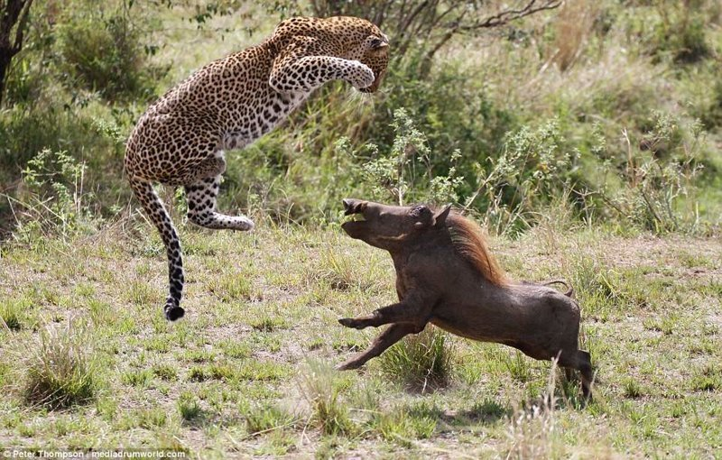 Леопард против бородавочника - прыжок смерти