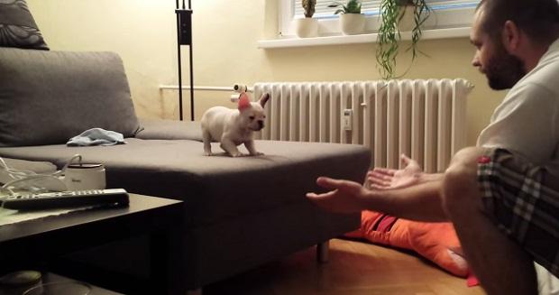Французский бульдог впервые учится прыгать (видео)