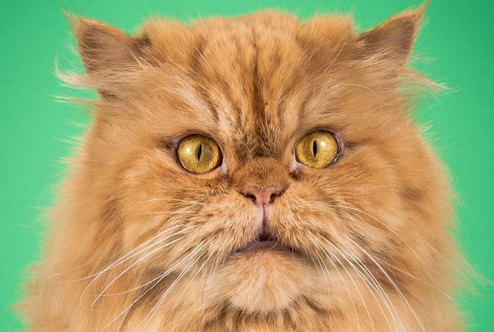 Прелестные толстопузы: 18 топовых снимков эмоциональных котов-толстунов