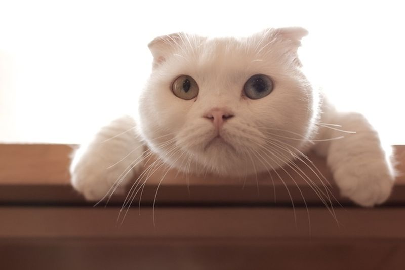 Heterochromia22 Разноглазые кошки
