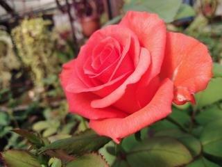 Почему краснеют листья, стебли и побеги розы?