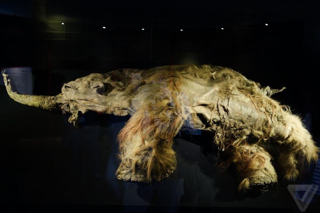 Yuka02 Самый известный мамонт из Якутии: Юка