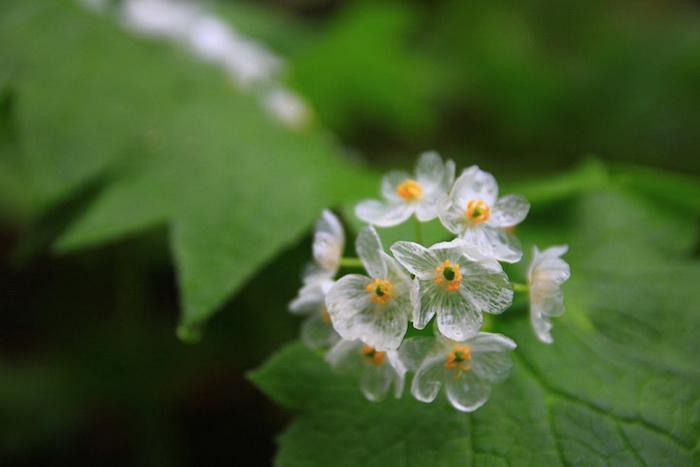 Двулистник Грея - цветок, который боится воды