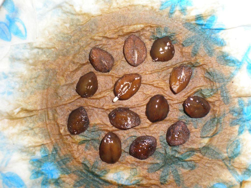 Семена кобеи