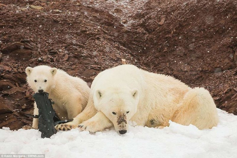 И даже на большом расстоянии от Северного полюса команда увидела шокирующую картину: белые медвежата играют с полиэтиленовыми пакетами. животные, загрязнение окружающей среды, новости, пластик, пластиковые отходы, фото, экология, экспедиция