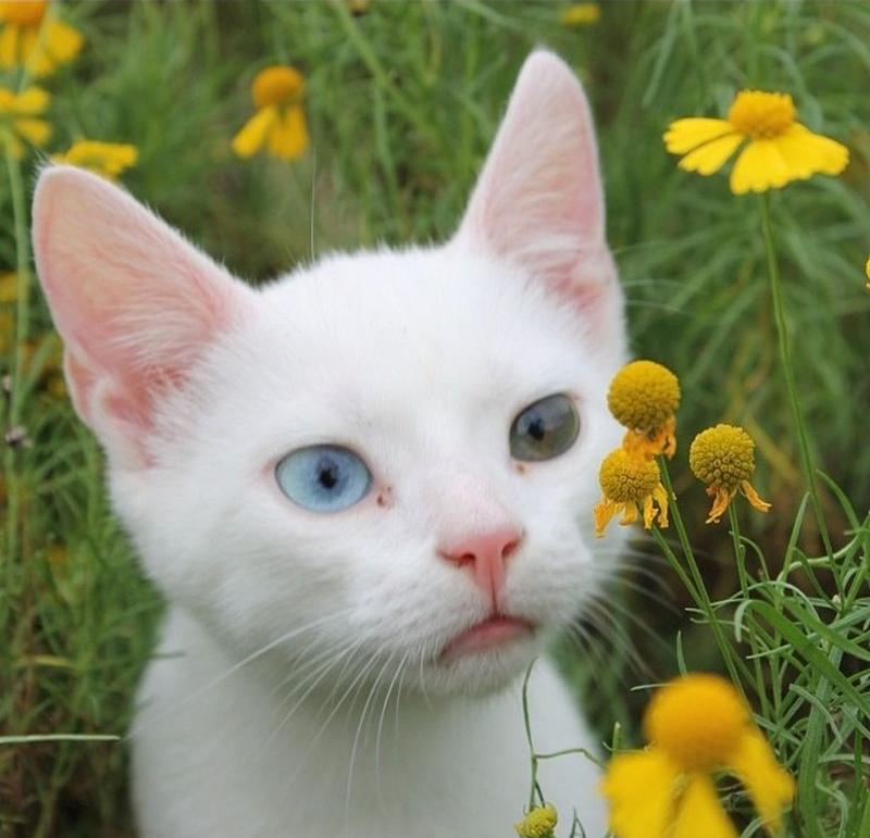 Heterochromia06 Разноглазые кошки