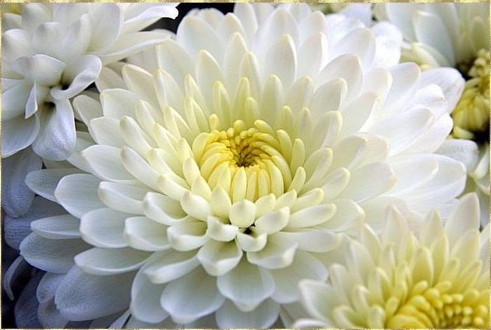 цветы осени 6 (700x471, 295Kb)