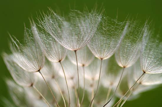 Парашюты семян овсяного корня