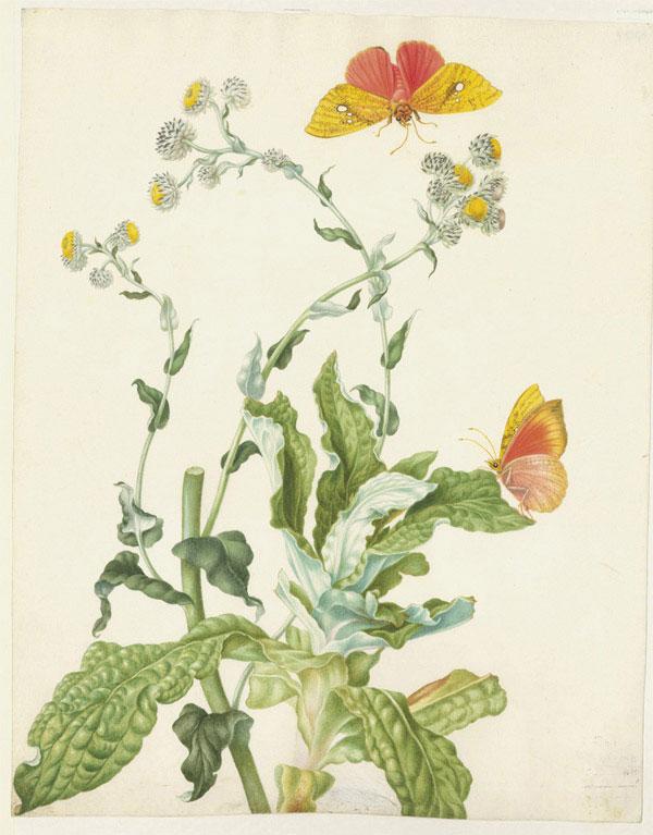 Мария Сибилла Мериан. Подарившая миру бабочку