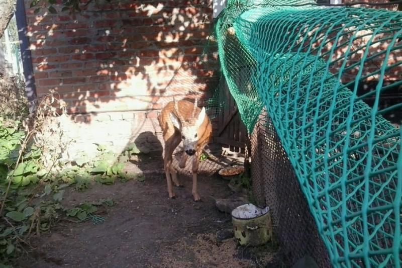 В семье из Ростовской области уже семь лет живет спасенная косуля