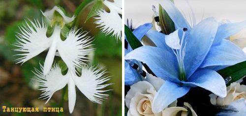 синие лилии фото