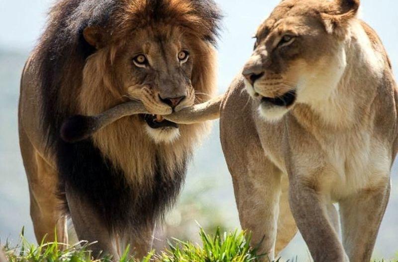 Когда она - та самая! Трогательные моменты из жизни львов
