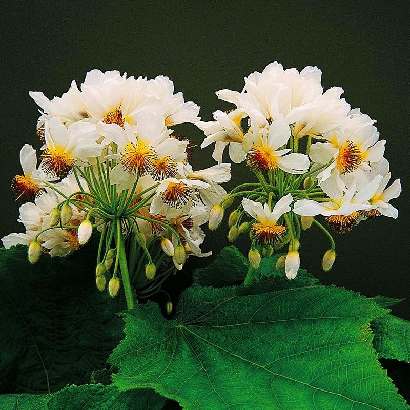 Sparrmannia Africana - Спаррманния африканская (5 шт). Комнатные растения Магазин