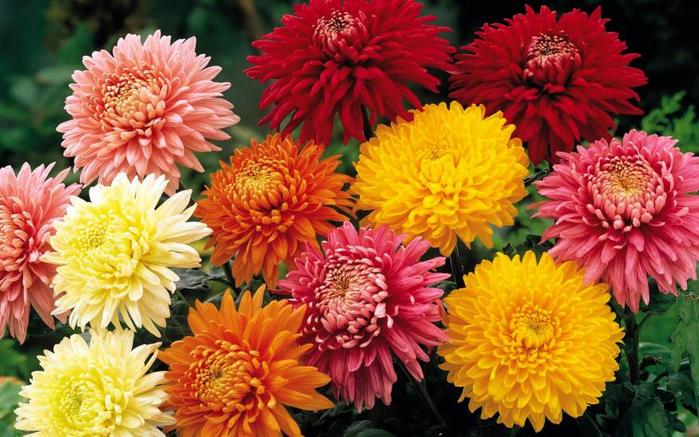 цветы осени 4 (700x437, 434Kb)