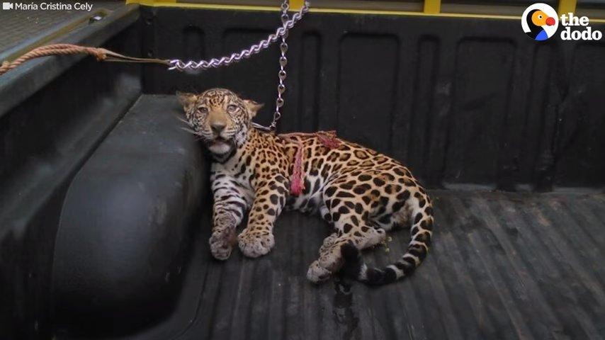 В глазах этого детеныша ягуара боль и страх