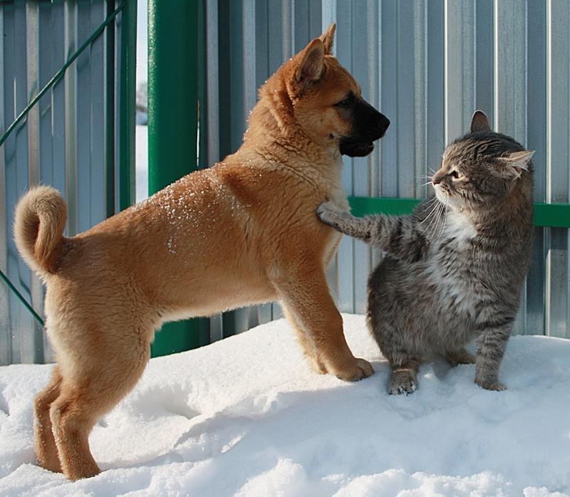 Кот обожает охотиться на собак