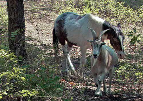 животные, конь, козёл, дружба