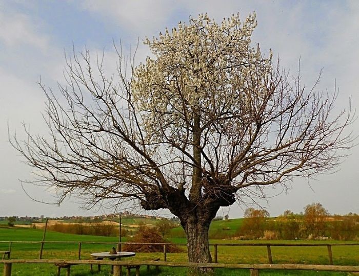 Вишневое дерево на стволе шелковицы дерево, живучесть, жизнь, мир, планета, растительность, фото