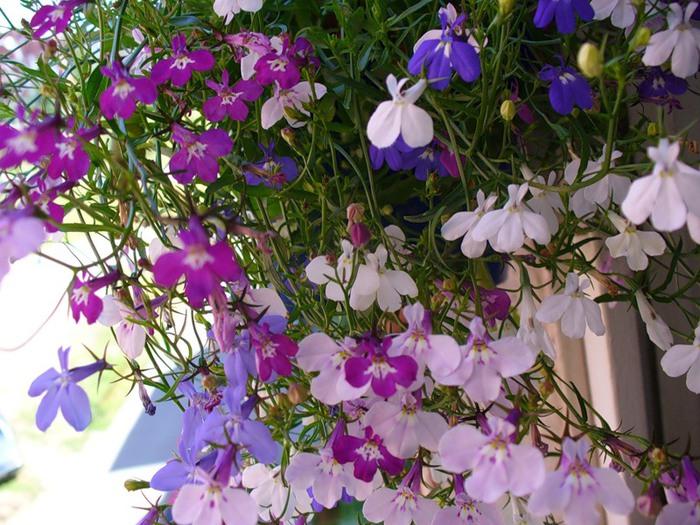 Цветы на даче однолетники фото