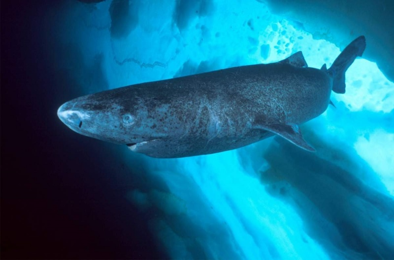 В Дании поймана акула - ровесница Ивана Грозного