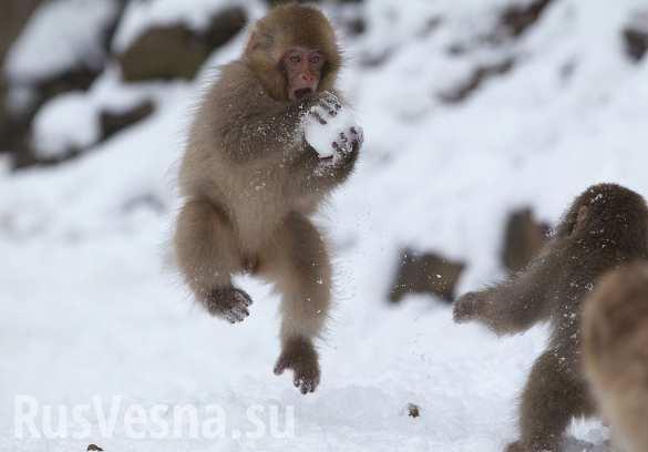 Японские макаки боятся снега и ходят по проводам