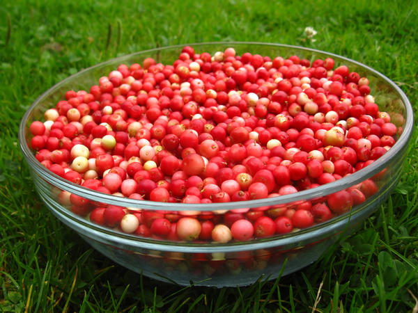 Зрелые плоды окрашены равномерно, более интенсивно и ярко, чем недозрелые