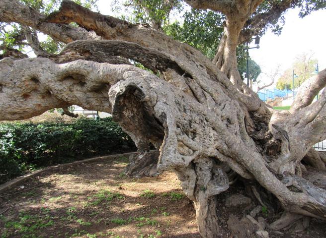 Древнее дерево сикомора