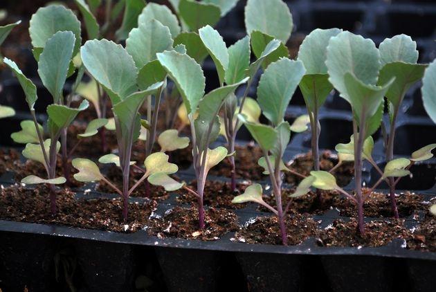 Рассада капусты на подоконнике: нюансы выращивания