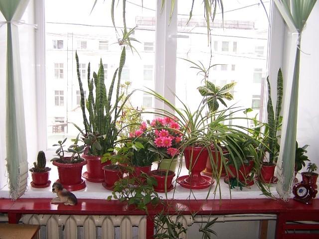 Комнатные лекарственные растения на подоконнике