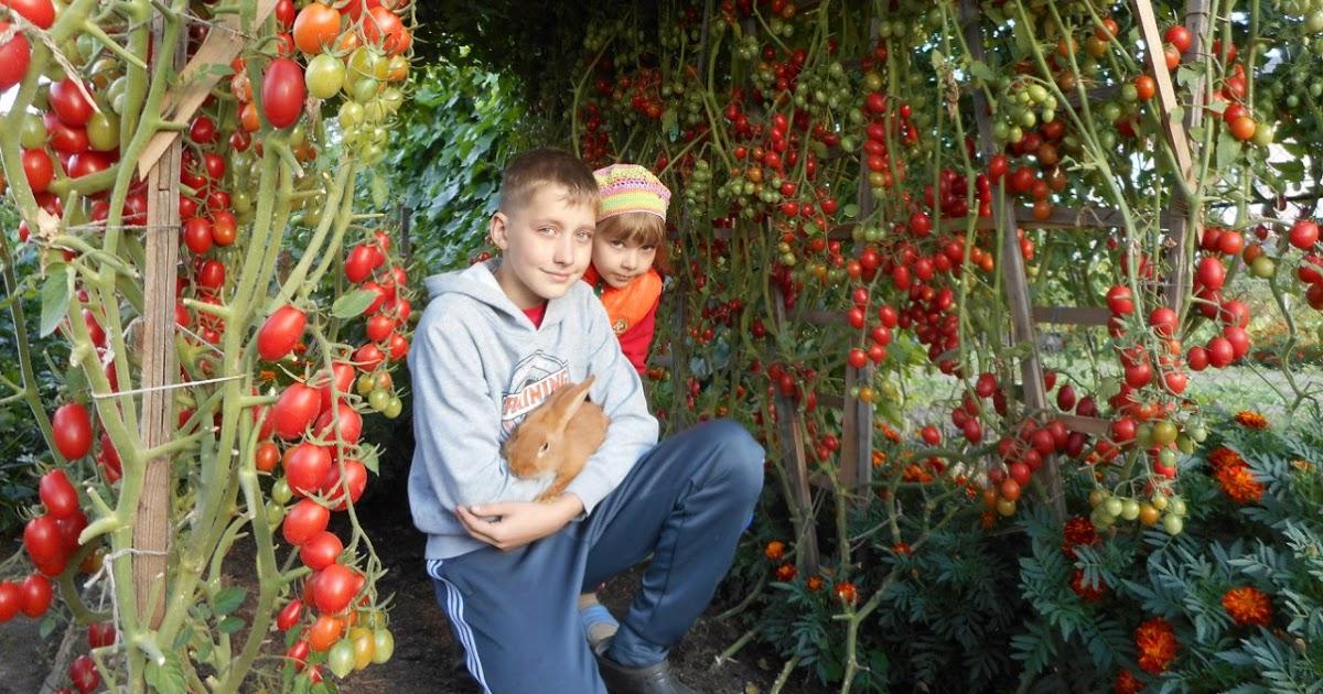 Сорта томатов, которые не советуют сажать в 2019 году по опыту 2018го и предыдущих...