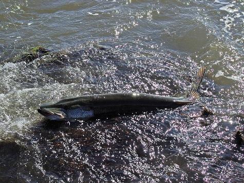 клев рыбы на нерли