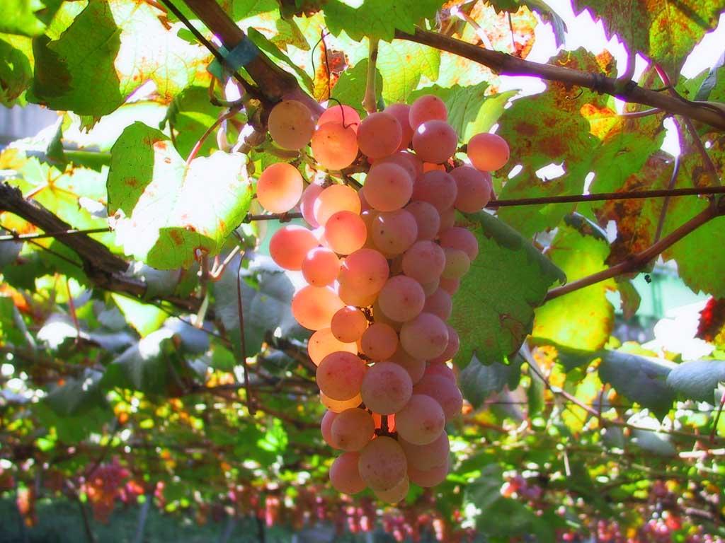 Вкусный и полезный виноград. Интересные факты о винограде