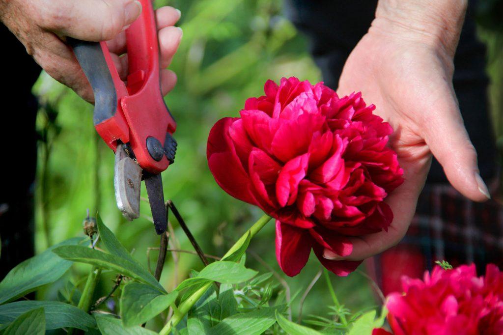 Как правильно срезать цветы пионов, чтобы не повредить растение