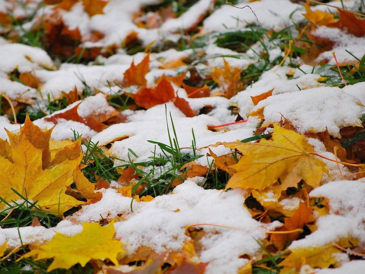 HD картинка Первый осенний снег осень, листья, снег. HD картинки на рабочий стол
