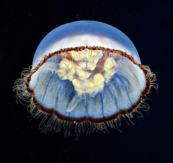 Красота медуз в фотографиях Александра Семенова